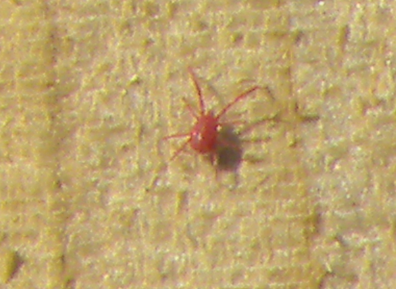 Red Spidermite.